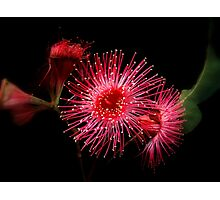 """ Gum Blossom"".. Photographic Print"