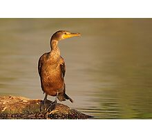 Double-crested Cormorant At Sunrise Photographic Print