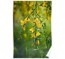 Cytisus Flower in Detail Poster