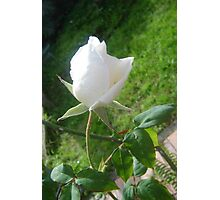 Lonely Lily Like Rosebud Photographic Print