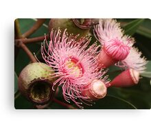 Pink Eucalypt flower bud and gumnut Canvas Print