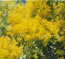 Wattle Flowers by ozhank