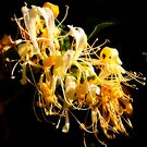 Honeysuckle Abundance by Ashli Zis