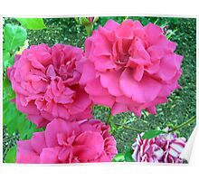 Colorful roses Poster