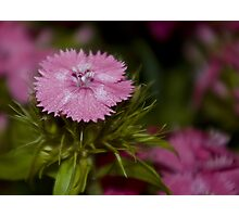 Pink disc Photographic Print