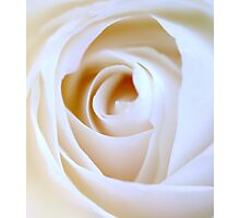 pure white rose Photographic Print