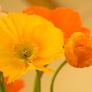 Brightly Coloured Poppies by Elana Bailey