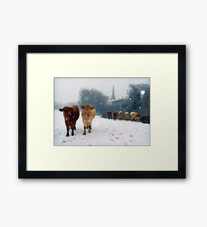 Cattle in the snow, Monmouth, Wales, UK. Framed Print
