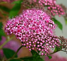 Tiny Pink Flowers by Deborah  Benoit