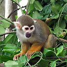 Squirrel Monkey by Stuart Woodcock