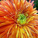 The humble Gerbera by Magee