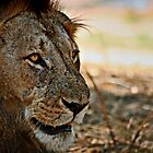 Lion Gaze by Scott Ward