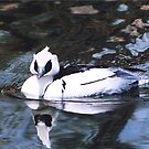 Male Smew !! by Lori Peters