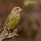 Greenfinch - II (Carduelis chloris) by Peter Wiggerman