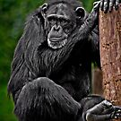Chillin' Chimpanzee by Scott Ward