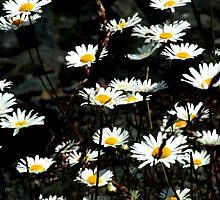 Daisies by Dawn Palmerley