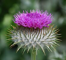 Cotton Thistle,  Cirsium eriophorum by John Newson