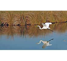The Great White in flight Photographic Print