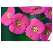 Euphorbia milii (crown of thorns, Christ plant, Christ thorn) Poster