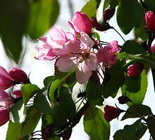Pink AppleBlossoms by gypsykatz