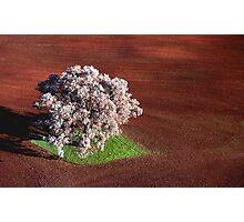 Jacaranda tree, Benalla, Victoria Photographic Print