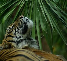 Tiger, Melbourne Zoo by Peter Hall