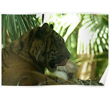 Tiger 2, Melbourne Zoo Poster