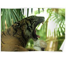Tiger yawning, Melbourne Zoo Poster