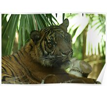 Tiger 4, Melbourne Zoo,  Poster