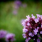 Roadside Purple by Tania Rose