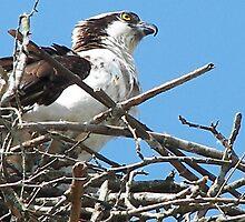 Osprey Mama  by solareclips~Julie  Alexander
