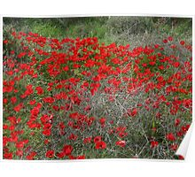 Beautiful Red Wild Anemone Flowers In A Spring Field  Poster