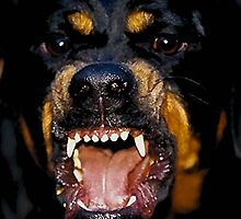 Rottweiler by grace123