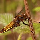 Female Broad-bodied Chaser by Neil Bygrave (NATURELENS)