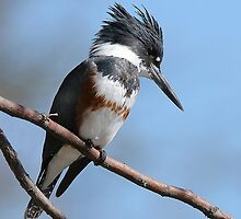 Belted Kingfisher by tomryan