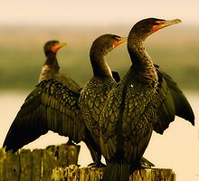 Cormorants on the River by David Friederich