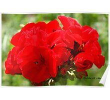 RED GERANIUMS Poster