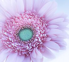 Soft Pink Gerbera Daisy by Amber Leigh Summers
