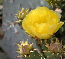 Yellow Prickly Pear Blossom by Kathleen Brant