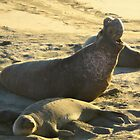 Elephant Seals by justineb
