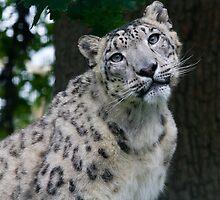 Curious Snow Leopard by craigpuremac