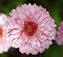 Pink English daisy by turpentine