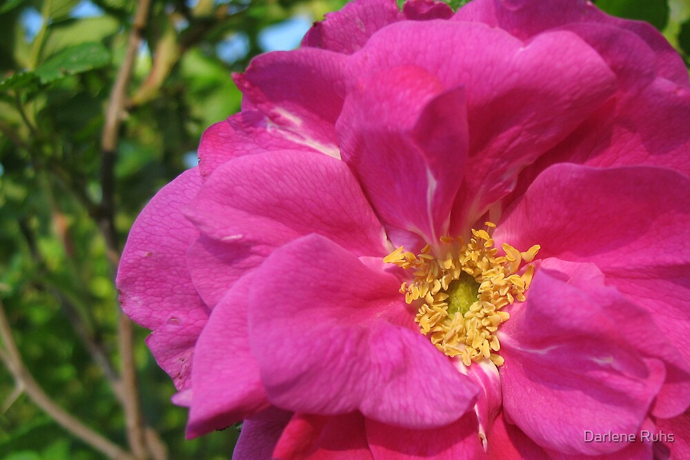 Wild Rose by Darlene Ruhs