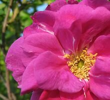 Wild Rose by Darlene Ruhs
