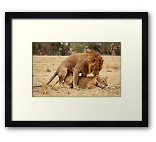 Apparent Tenderness. Lions Copulating, Maasai Mara, Kenya  Framed Print