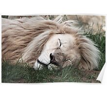 White Lion Sleeping Poster