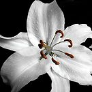 Lilium by Magee