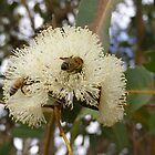 A flower for Every Bee!  Eucalyptus Blossom. by Rita Blom