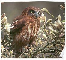 Boobook Owl - England Poster