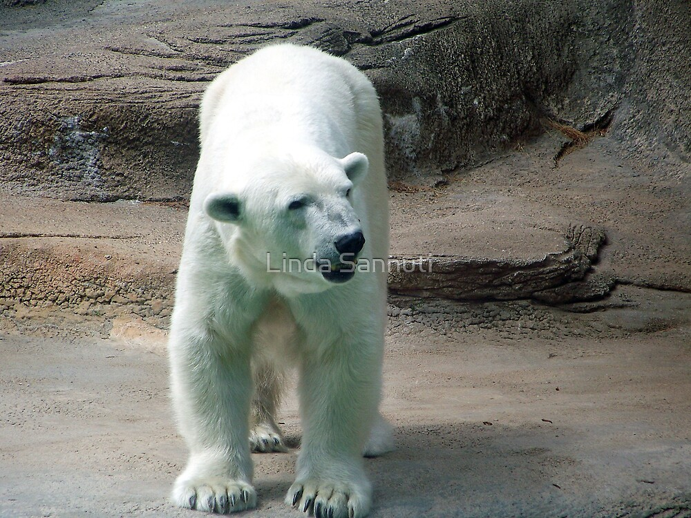 Polar Bear smile by Linda Sannuti